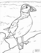 Coloring Puffin Atlantic Puffins Coloringbay sketch template