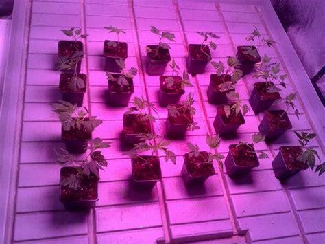 culture de cannabis avec des les led du growshop alchimia