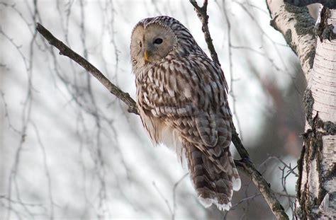 Ural owl | Strix uralensis | Jyrki Salmi | Flickr