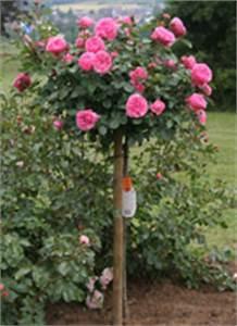Pflanzkübel Für Rosen : moderne stammrosen container rosen online kaufen im ~ A.2002-acura-tl-radio.info Haus und Dekorationen