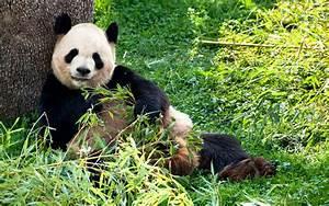 Junior Tierquiz Zum Gro U00dfen Panda