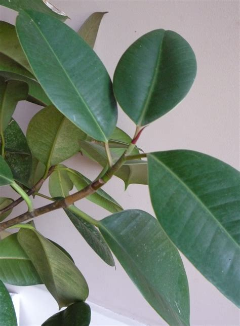 rubber tree plant rubber plant leaf www pixshark com images galleries with a bite