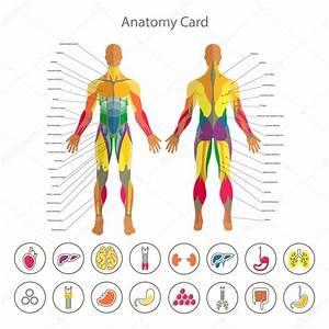 Rear View Of Human Organs
