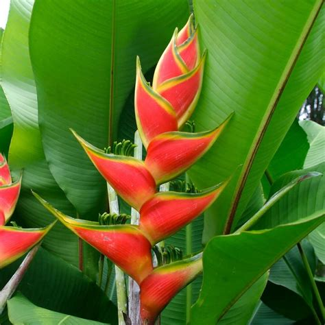 heliconia color heliconia wagneriana rainbow plant spectacular