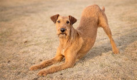 small non shedding dogs 35 non shedding breeds ranked in order