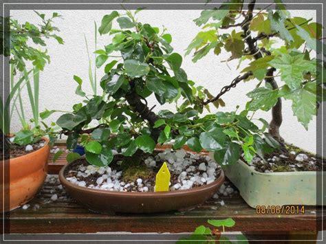 fuchsie abbekommen bonsaiarbeitskreis hildesheim