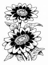 Rose Zinnia Drawing Flower Line Starlight Zahara Clipart Cliparts Gazania Drawings Clip Flowers Getdrawings Library Selections America Lineart sketch template
