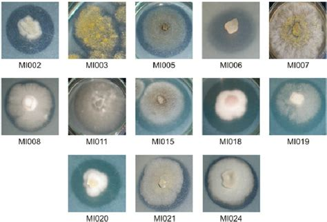 Halo Producing Strains In Psm Agar. See Text And Table 1