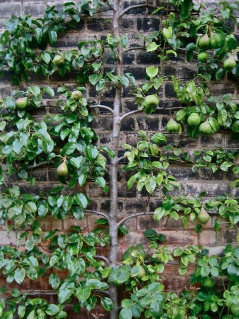 pear espalier 1000 images about espalier on pinterest trees parks and topiary garden