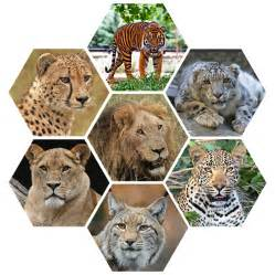big cats for free photo big cats vicious majestic free image
