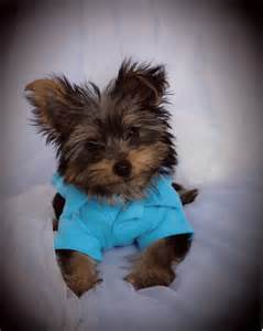 Teacup Yorkie Puppy Sale
