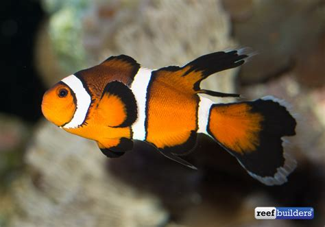 What do you think about Longfin Clownfish? Clownfish, Fish Videos, News, Saltwater Fish, Video