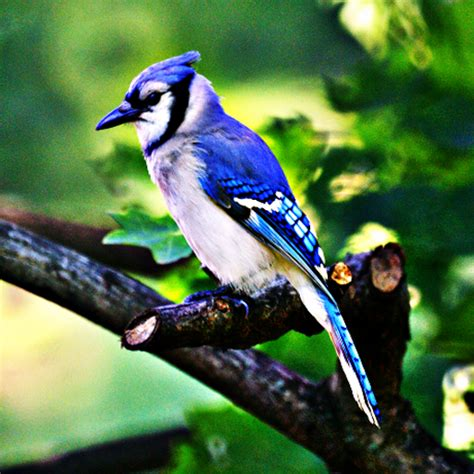 amazon com blue jays bird sounds appstore for android