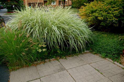 astrid s garden design ornamental grasses