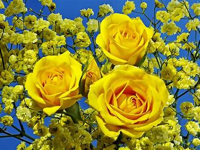 Yellow Roses Rose Flowers Three Nature Wallpapers