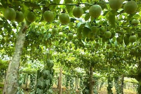 farming  uganda agriculture livestock crops