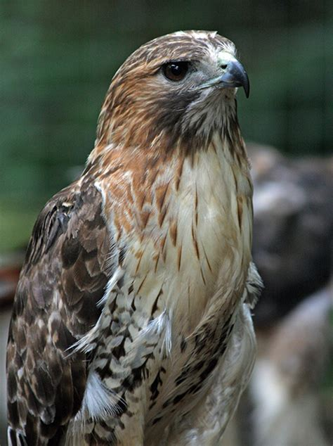 red tailed hawk shubenacadie wildlife park