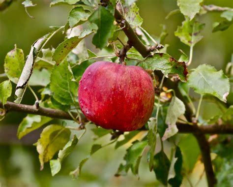 washington foods apples iconic