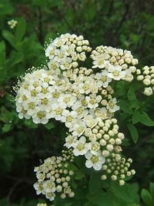 Weiß Blühender Strauch : karpaten spierstrauch wikipedia ~ Lizthompson.info Haus und Dekorationen