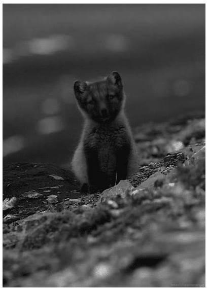 Animals Wolves Wolf Fox Spirit Animal Wild