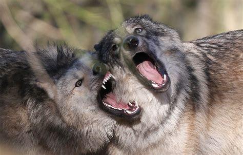 le loupe de bureau le loup craindrait de moins en moins l homme la croix