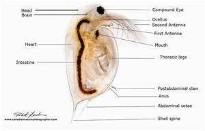 Daphnia Light Requirements