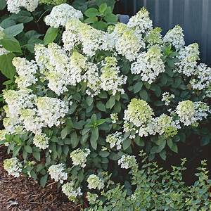 Hydrangea Paniculata Bobo : hydrangea paniculata bobo white flower farm ~ Michelbontemps.com Haus und Dekorationen