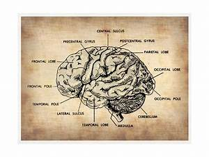 Vintage Brain Map Anatomy Prints By Naxart At Allposters Com