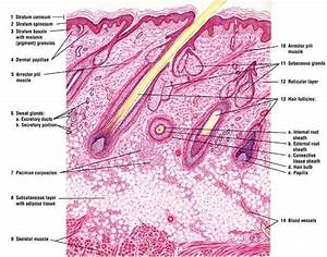 Image Result For Skin Hair Follicle Histology