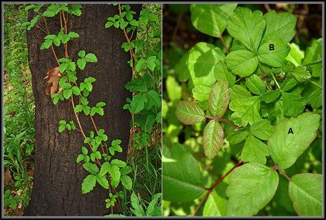 poison oak poison oak pictures mouade agafay