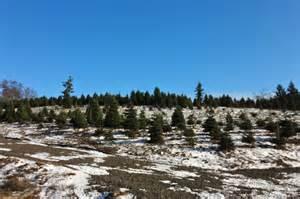 christmas tree farm near portland oregon lil bit