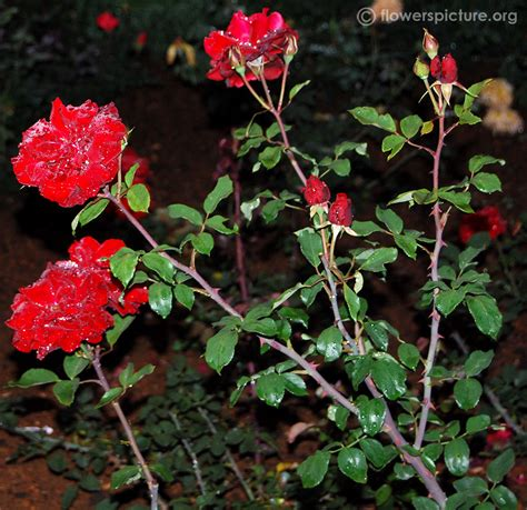 how to plant roses rose plant pictures www pixshark com images galleries with a bite