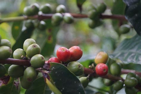 Check out coffea arabica plant on ebay. A Single 'Super Parent' Plant Birthed All of Arabica ...