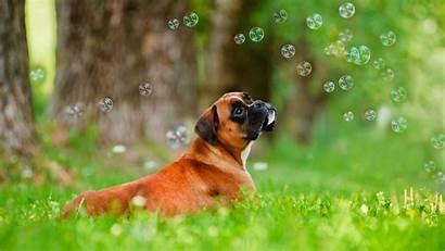 Boxer Dog Grass Wallpapertag