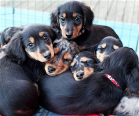 harlequin dachshunds miniature longhaired dachshunds