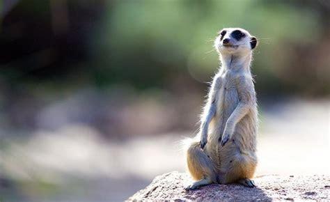 Meerkat | Zoos Victoria