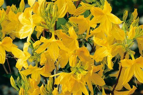 Garten Pflanzen September by Azaleen Im Garten Richtig Pflanzen Azaleen Ratgeber