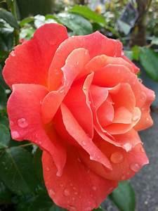 Roses - Garden Works