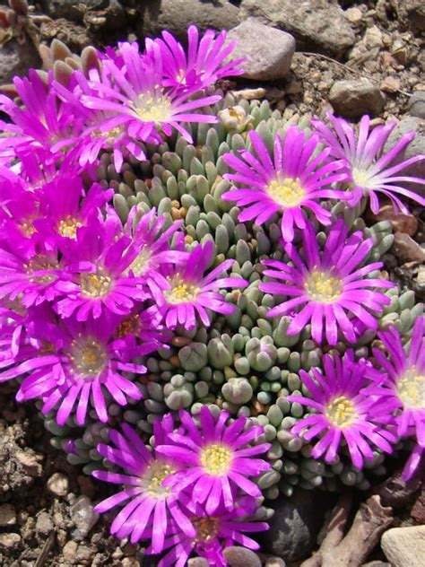 Delosperma Sphalmanthoides  Tufted Ice Plant  World Of