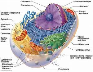 Animal Cell Features