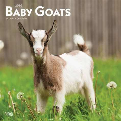 baby goats monthly square wall calendar animals