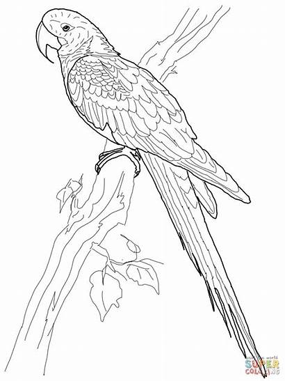 Macaw Coloring Parrot Ara Colorir Arara Bird