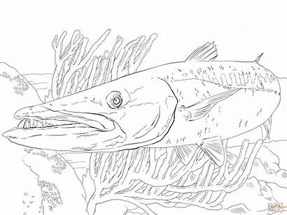 Coloring Fish Barracuda Pages Fishing Pike Angler