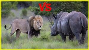 Real Jungle Animals Lion