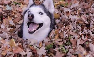 Funny Siberian Husky That Will Brighten Your Day