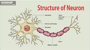 Structure Of Neuron  B Sc  M Sc  Physiology Gurukpo