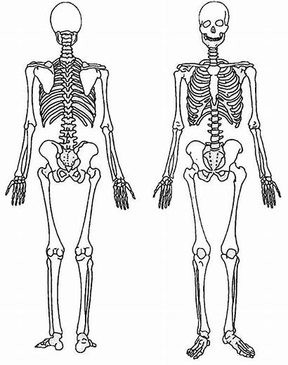 Skeleton Coloring Clipart Human Pages Massage Colouring
