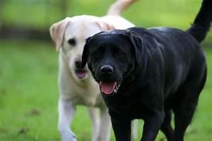 Labrador Retriever - My Doggy Rocks