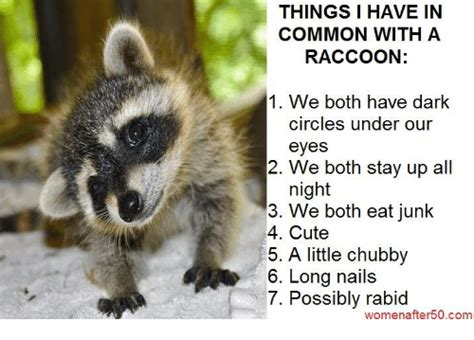 25+ Best Memes About Raccoons