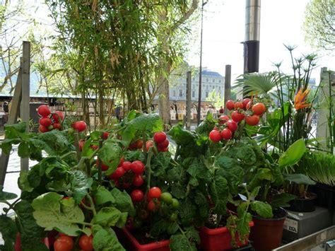 tomate en pot c 244 t 233 jardin